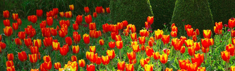 0197 tulipes